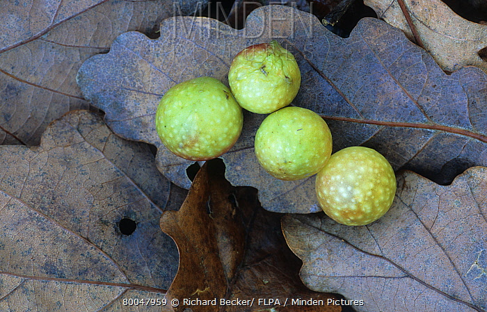 Cherry Gall Causer (Cynips quercusfolii) on fallen oak leaves, asexual galls of Gall wasp, Powys, Wales, United Kingdom  -  Richard Becker/ FLPA