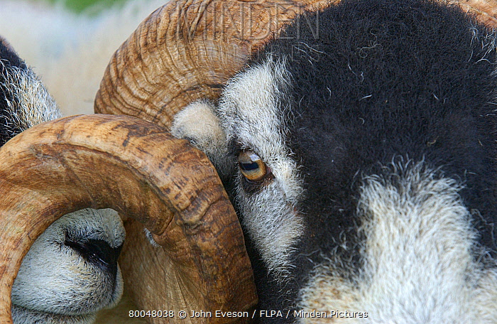 Horn Minden minden pictures stock photos domestic sheep swaledale tup