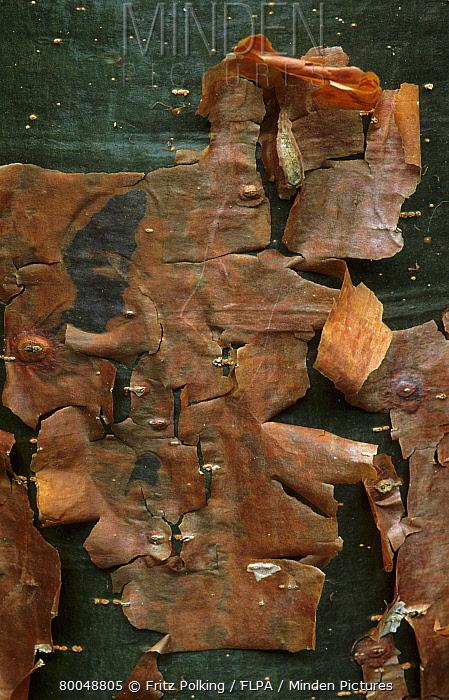 Gumbo Limbo (Bursera simaruba) bark, Sanibel Island, Florida  -  Fritz Polking/ FLPA