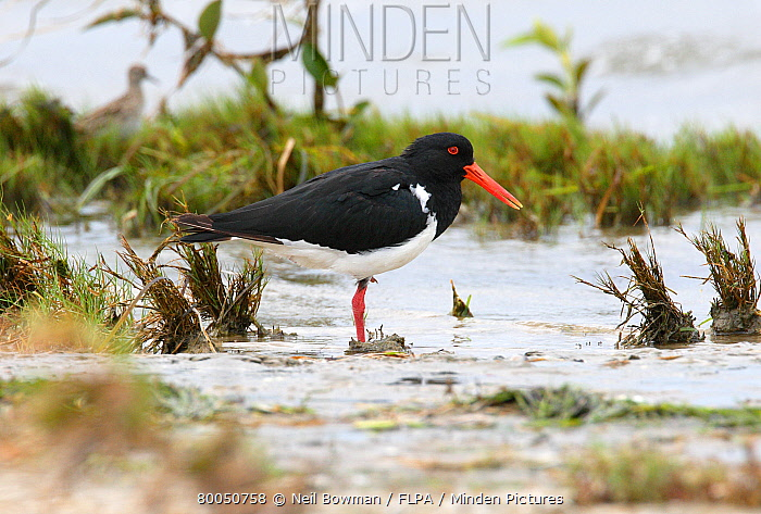 Pied Oystercatcher (Haematopus longirostris) adult, roosting on saltings, Southeast Queensland, Australia, february  -  Neil Bowman/ FLPA