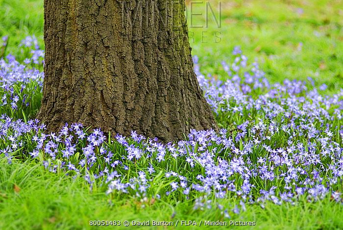 Minden pictures stock photos spring flowers in bloom around tree spring flowers in bloom around tree trunk england david burton flpa mightylinksfo