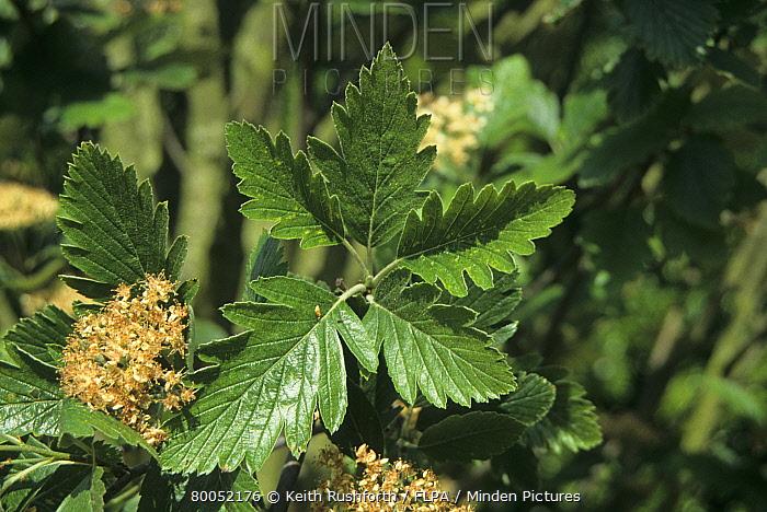 Arran Whitebeam (Sorbus arranensis) leaf and flower  -  Keith Rushforth/ FLPA