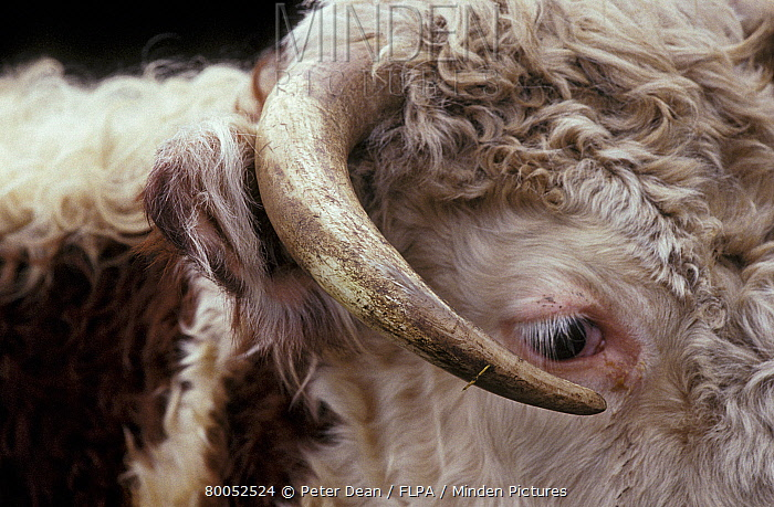 Horn Minden minden pictures stock photos cattle hereford up of horn
