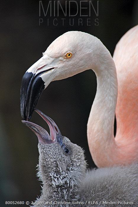 Chilean Flamingo (Phoenicopterus chilensis) adult, feeding chick  -  Jurgen and Christine Sohns/ FLPA