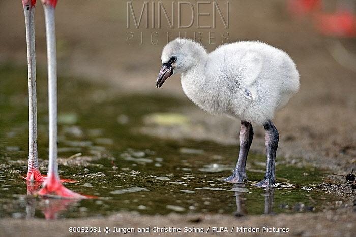 Chilean Flamingo (Phoenicopterus chilensis) chick, standing in water  -  Jurgen and Christine Sohns/ FLPA