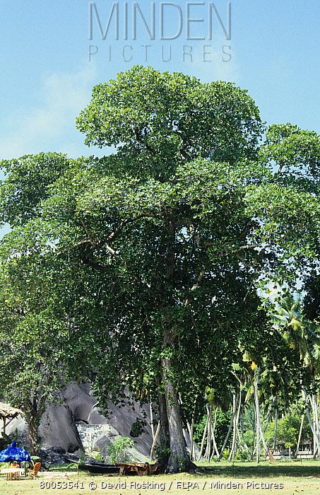 Indian Almond (Terminalia catappa) whole tree  -  David Hosking/ FLPA