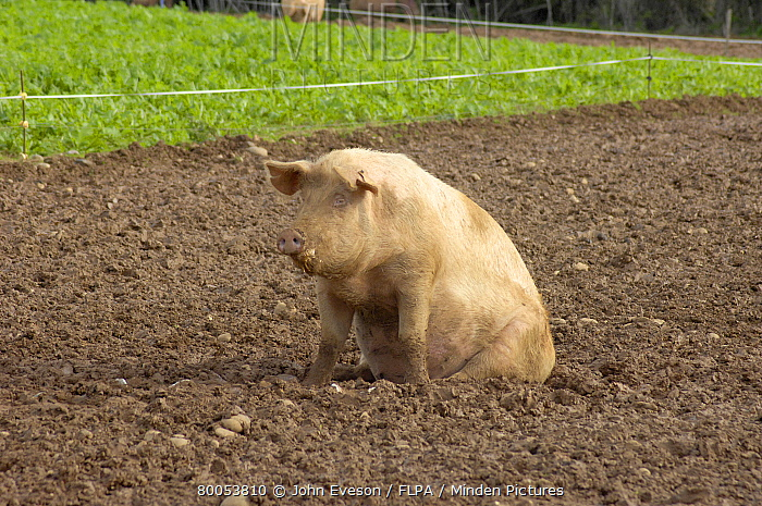 Domestic Pig, Large White x landrace sow, sitting in front of Typhon stubble turnips, Devon, England  -  John Eveson/ FLPA