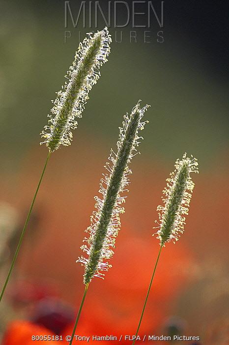 Timothy Grass (Phleum pratense) three flowerspikes, backlit, England  -  Tony Hamblin/ FLPA