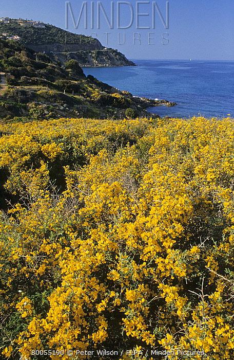 Thorny Broom (Calycotome villosa) flowering, in coastal garrigue, near Solerenzo, Southeast Corsica, France  -  Peter Wilson/ FLPA