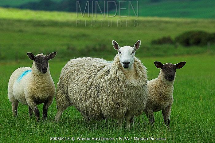 Domestic Sheep, Crossbred Cheviot mule ewe, with Suffolk sired lambs, Hawick, Borders, Scotland  -  Wayne Hutchinson/ FLPA