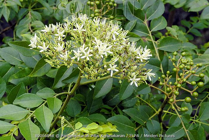 Curry Leaf Plant (Murraya koenigii) flowers, leaves and fruit, Trivandrum, Kerala, Southern India  -  Parameswaran Pillai Karunakaran/