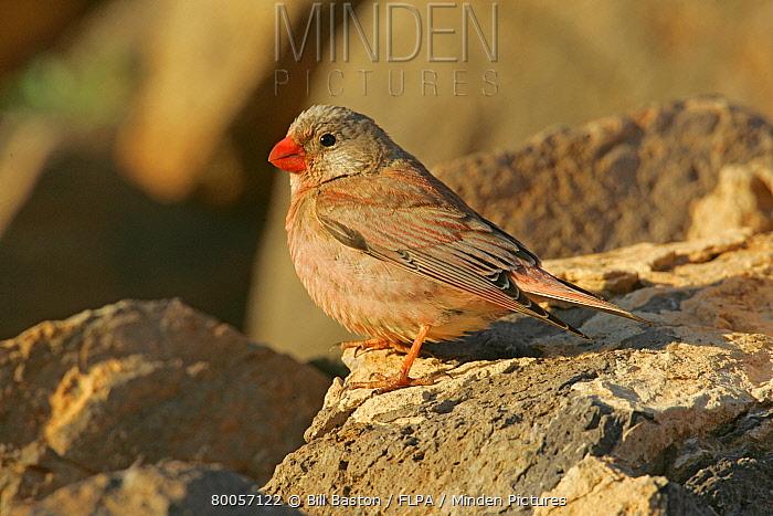 Trumpeter Finch (Rhodopechys githaginea) adult male, perched on rock, Fuerteventura, Canary Islands  -  Bill Baston/ FLPA