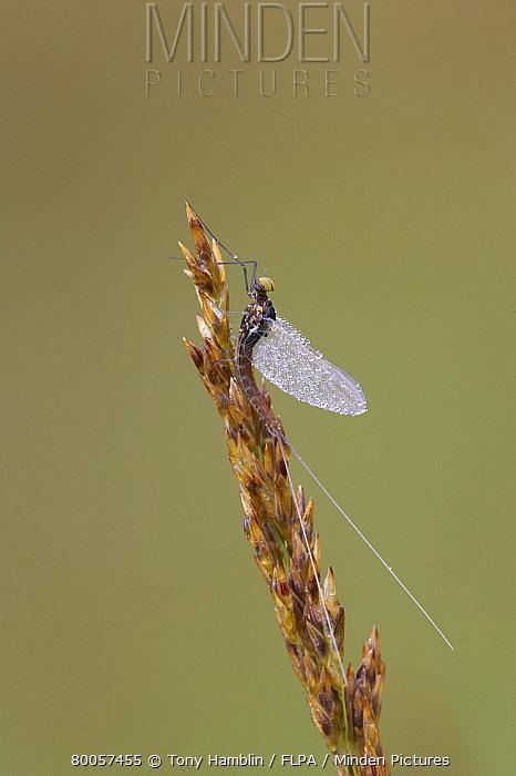 Mayfly (Siphlonurus lacustris) adult, dew covered, resting on grass, Scotland  -  Tony Hamblin/ FLPA