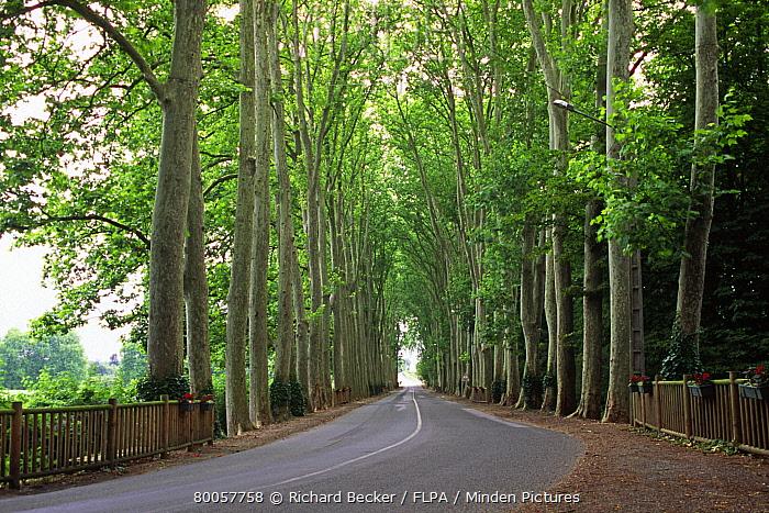 Hyrbid Plane (Platanus x hispanica) avenue, leading to Chateau de Dissay, Vienne Region, France  -  Richard Becker/ FLPA