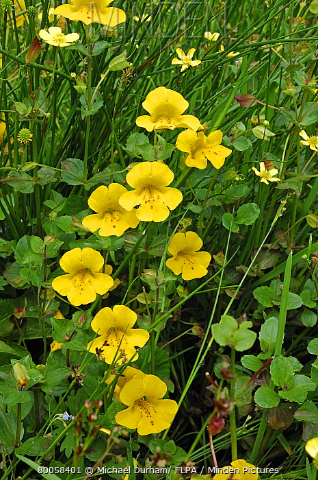 Minden pictures stock photos yellow monkeyflower mimulus guttatus yellow monkeyflower mimulus guttatus flowering growing by moorland stream leadhills dumfries mightylinksfo