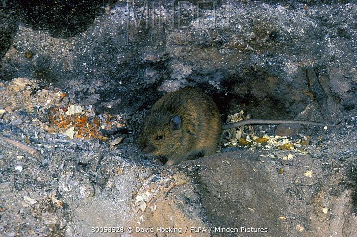 St. Kilden Wood Mouse  -  David Hosking/ FLPA