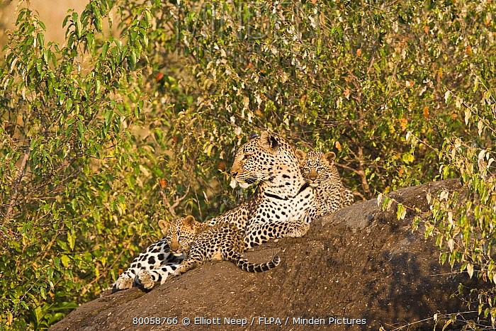 Leopard (Panthera pardus) adult female, basking on rock, with two six week old cubs, Masai Mara, Kenya  -  Elliott Neep/ FLPA