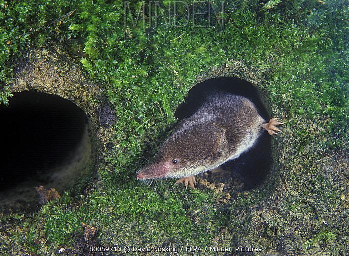 Common Shrew (Sorex araneus) emerging from a hole  -  David Hosking/ FLPA