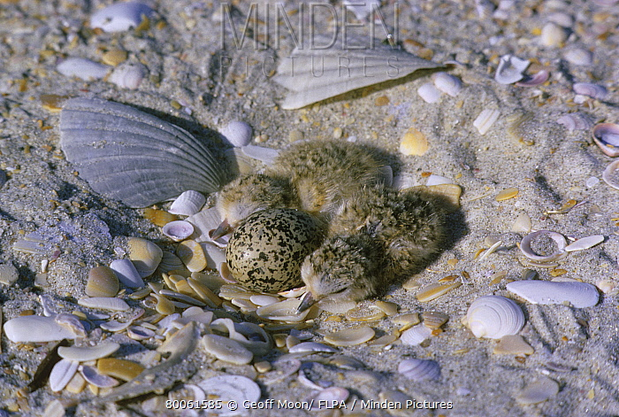 Red-breasted Plover (Charadrius obscurus) chicks and egg in nest, amongst shells on beach, New Zealand  -  Geoff Moon/ FLPA
