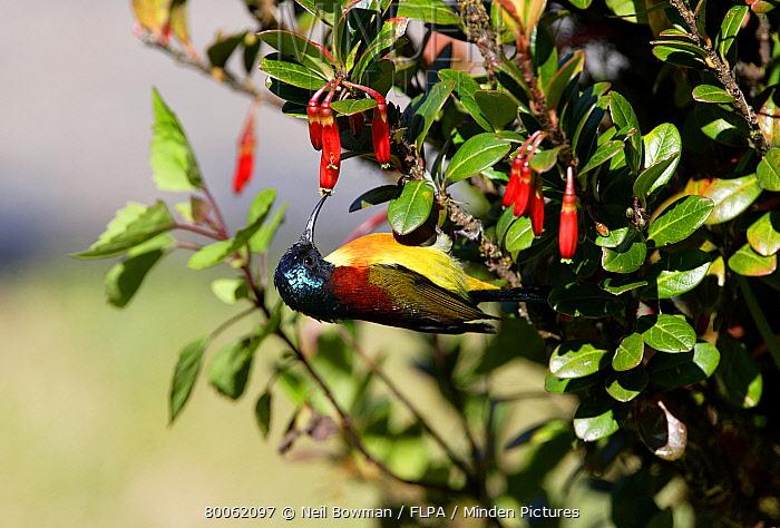 Green-tailed Sunbird (Aethopyga nipalensis) adult male, feeding upside-down on flowers, Doi Inthanon National Park, Thailand  -  Neil Bowman/ FLPA