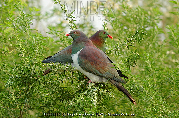 New Zealand Pigeon (Hemiphaga novaeseelandiae) adult pair, perched in tree, Banks Peninsula, South Island, New Zealand  -  Hugh Lansdown/ FLPA