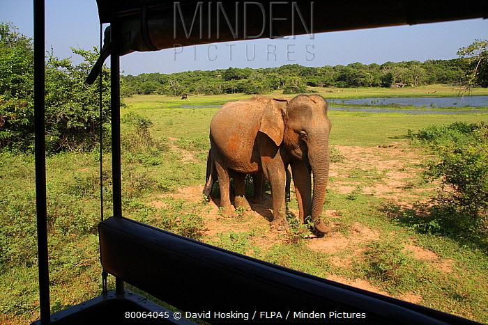 Asiatic Elephant (Elephas maximus) view from inside tourist jeep, Yala National Park, Sri Lanka  -  David Hosking/ FLPA