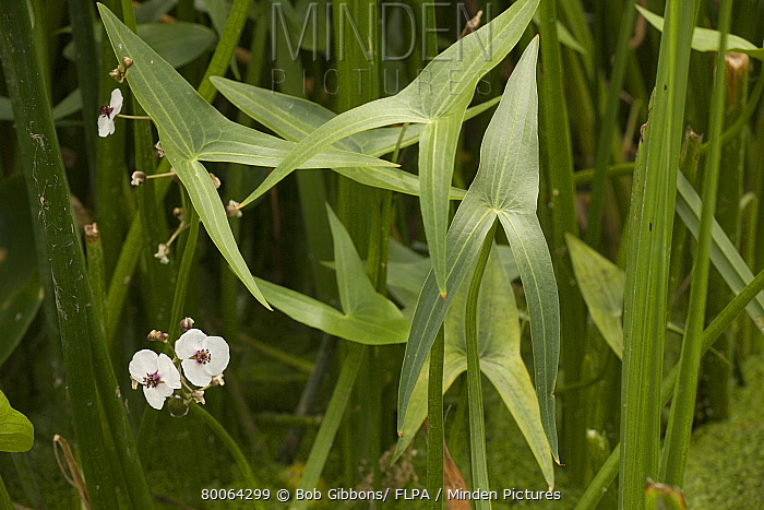 Swamp Potato (Sagittaria sagittifolia) flowering, growing in ditch, Stour Valley, Dorset, England  -  Bob Gibbons/ FLPA