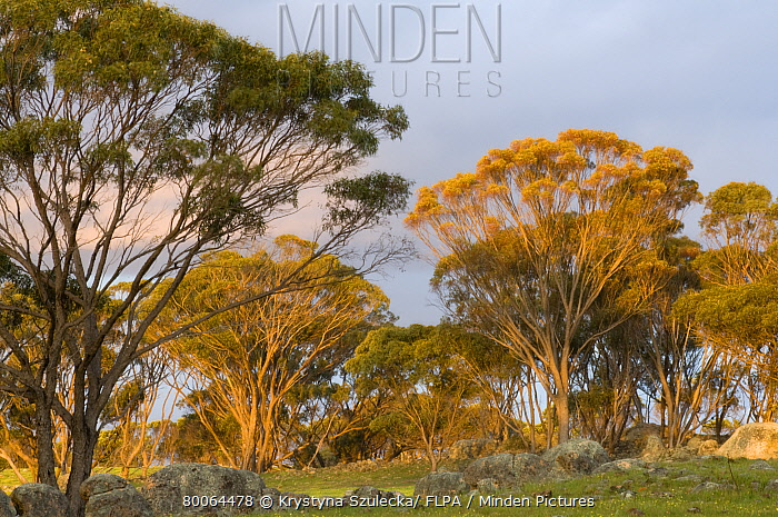 Minden Pictures Stock Photos Sugar Gum Eucalyptus Cladocalyx And