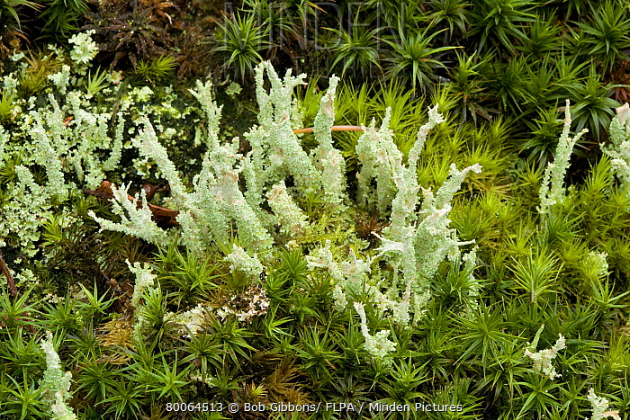 Lichen (Cladonia squamosa) growing with mosses on rotting wood, New Forest, Hampshire, England  -  Bob Gibbons/ FLPA
