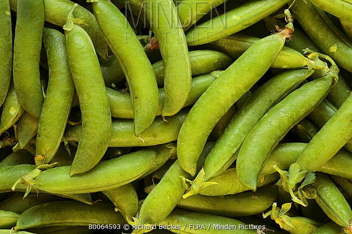 Chinese Snow Pea (Pisum sativum) 'Progress Number ', pods, grown on organic smallholding, Powys, Wales, United Kingdom  -  Richard Becker/ FLPA