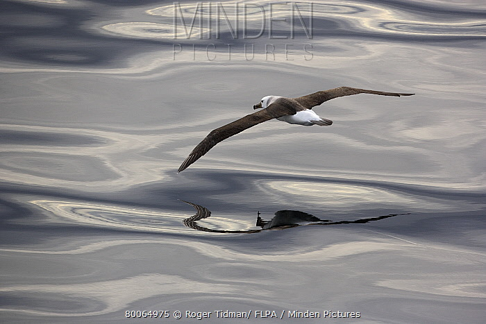 Black-browed Albatross (Thalassarche melanophris) juvenile, in flight over sea, Southern Atlantic Ocean, South Georgia Island  -  Roger Tidman/ FLPA