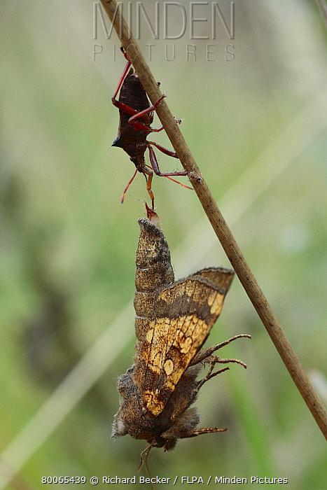 Spiny Shieldbug (Picromerus bidens) adult, feeding on Frosted Orange Moth (Gortyna flavago), Powys, Wales, United Kingdom  -  Richard Becker/ FLPA