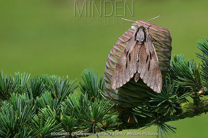 Pine Hawkmoth (Hyloicus pinastri) adult, resting on Cedar of Lebanon (Cedrus libani) cone, Leicestershire, England  -  Gianpiero Ferrari/ FLPA