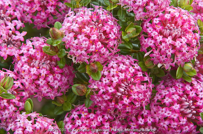 Minden pictures stock photos pink rice flower pimelea ferruginea pink rice flower pimelea ferruginea close up of flowers cultivated plant mightylinksfo