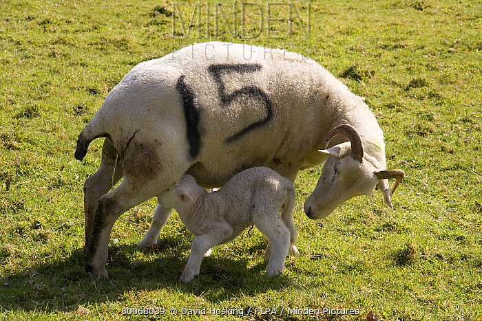 Wiltshire horn sheep mother with lamb  -  David Hosking/ FLPA