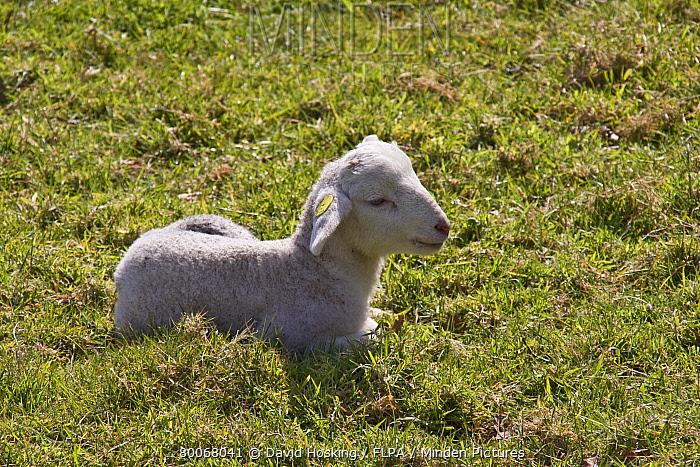Wiltshire horn sheep, lamb springtime  -  David Hosking/ FLPA