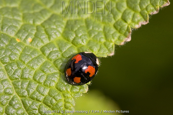 Spot Ladybird  -  David Hosking/ FLPA