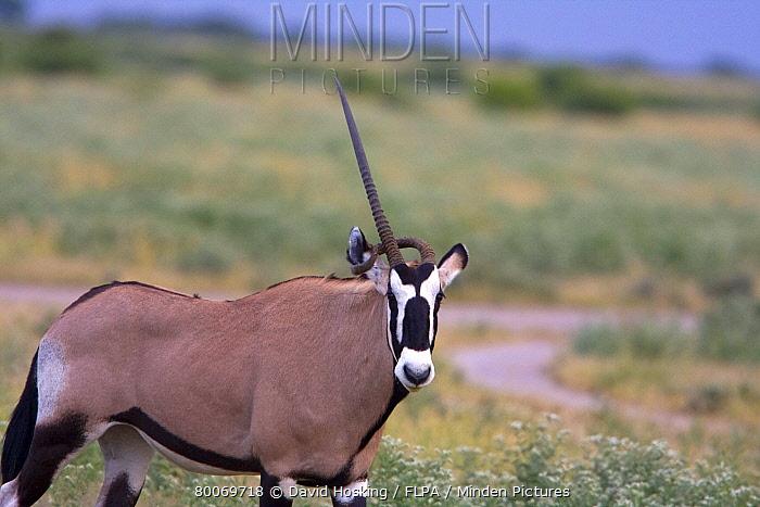 Horn Minden minden pictures stock photos gemsbok with deformed horn david