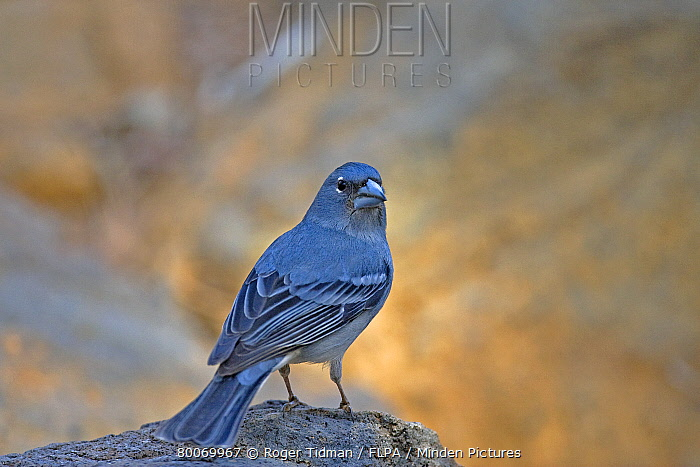 Blue Chaffinch (Fringilla teydea) adult male, perched on rock, Tenerife, Canary Islands  -  Roger Tidman/ FLPA