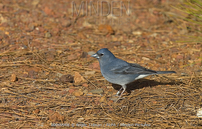 Blue Chaffinch (Fringilla teydea) adult male, standing on ground, Tenerife, Canary Islands  -  Roger Tidman/ FLPA