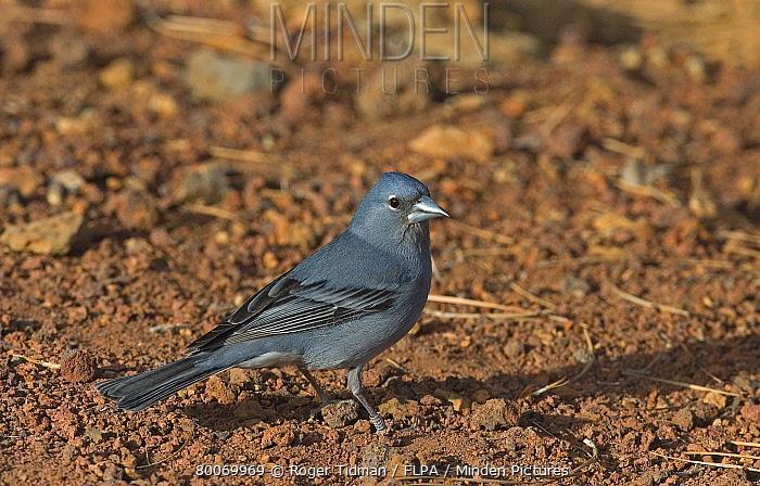Blue Chaffinch (Fringilla teydea) adult male, standing on ground, Tenerife, Canary Islands  -  Roger Tidman/ FLPA