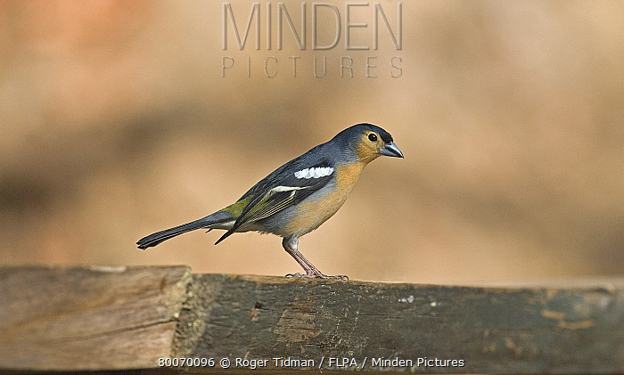 Tenerife Chaffinch (Fringilla coelebs tintillon) adult male, Tenerife, Canary Islands  -  Roger Tidman/ FLPA