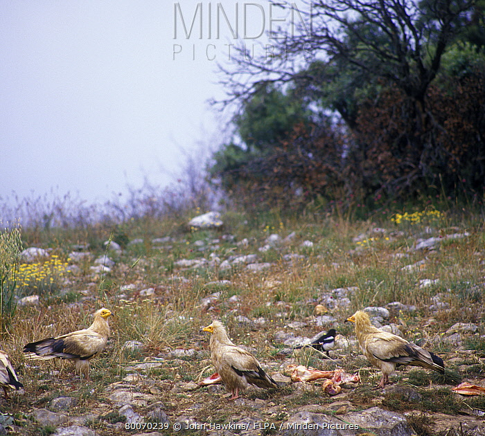 Egyptian Vulture (Neophron percnopterus) three scaveng- ing on ground from bones, magpie in  -  John Hawkins/ FLPA