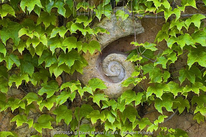 Boston Ivy (Parthenocissus tricuspidata) leaves, growing around garden wall decoration, Provence, France  -  David Burton/ FLPA