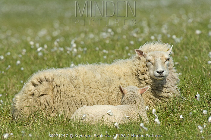 Domestic Sheep, Shetland ewe with lamb, resting on pasture with cotton-grass, Hermaness Nature Reserve, Unst, Shetland Islands, Scotland, june  -  Krystyna Szulecka/ FLPA