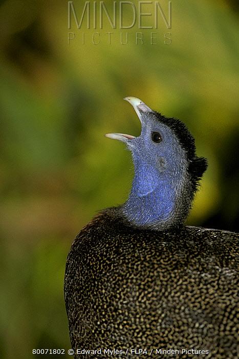 Great argus pheasant  -  Edward Myles/ FLPA