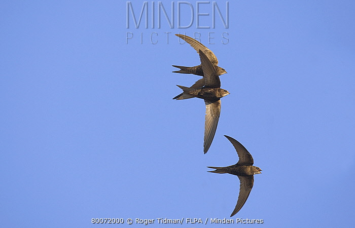 Common Swift (Apus apus) three adults, in flight, Spain  -  Roger Tidman/ FLPA