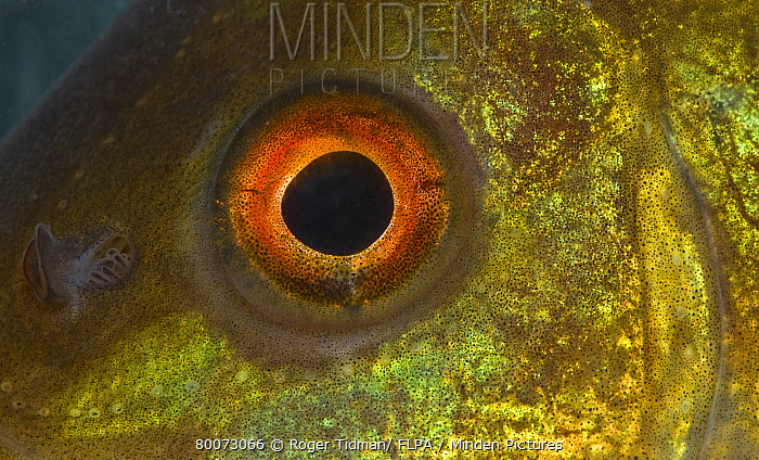 Tench (Tinca tinca) immature, eye, Norfolk, England  -  Roger Tidman/ FLPA