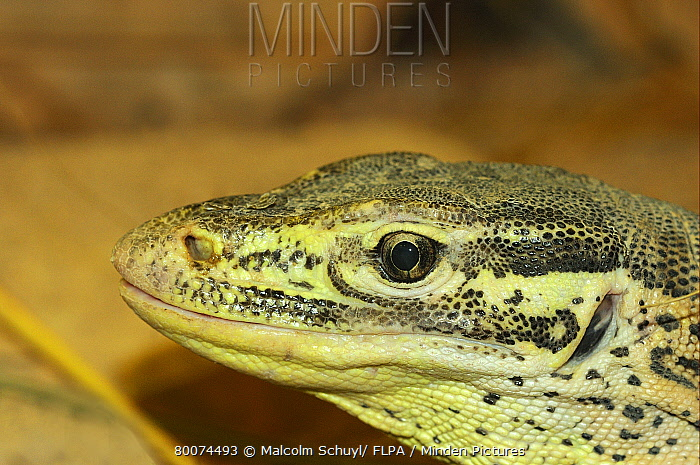 Yellow-spotted Monitor (Varanus panoptes) adult, close-up of head, native to New Guinea, captive  -  Malcolm Schuyl/ FLPA