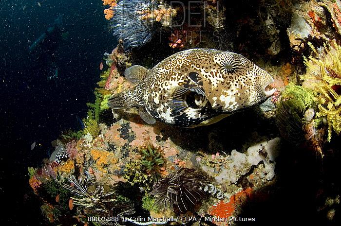 Map Puffer (Arothron mappa) adult, Yellow Wall, Rinca Island, near Komodo Island, Indonesia  -  Colin Marshall/ FLPA